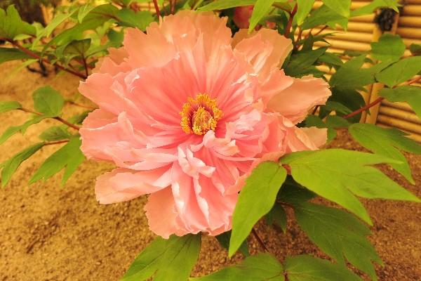 由志園 室内庭園「牡丹の館」では満開のボタンを観賞できる