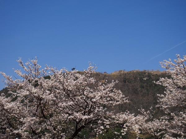 兵庫県は朝来市にある竹田城跡と桜景色