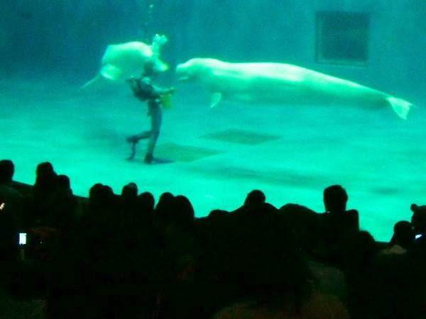 しまね海洋館 シロイルカ パフォーマンス
