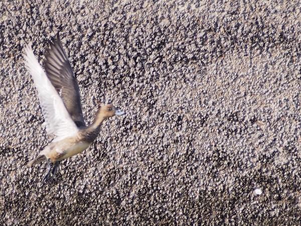 西条市河原津 飛び立つカモ