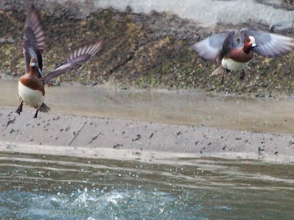 E-PM2で野鳥(カモ)の撮影