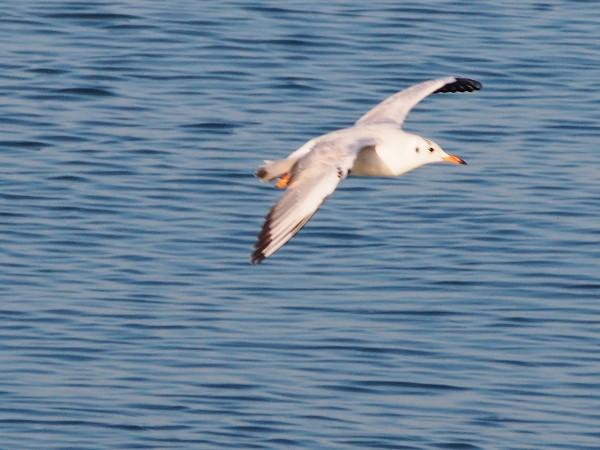 E-PM2 野鳥の撮影 カモメ