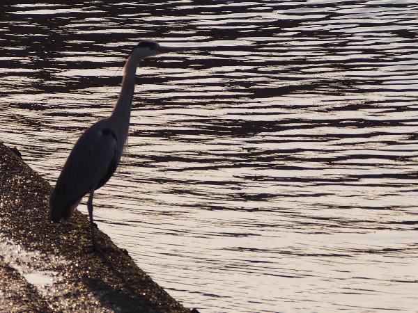 E-PM2で野鳥(サギ)の撮影