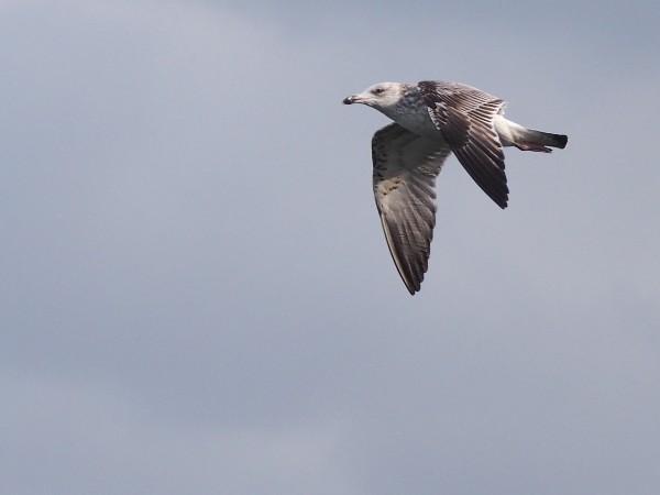 E-PM2で野鳥を撮影 カモメ