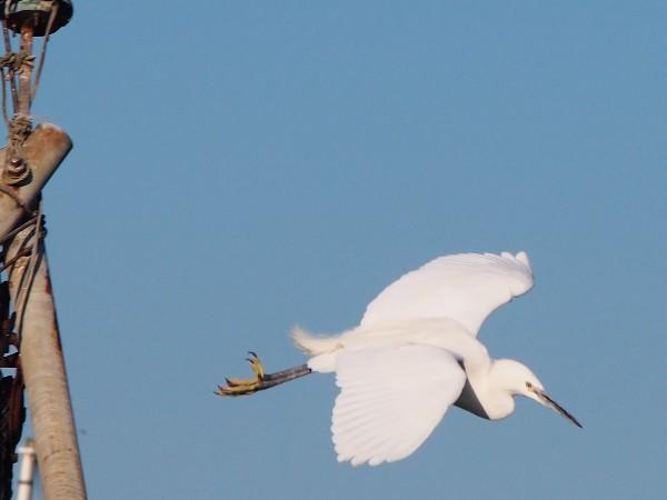 E-PM2で野鳥を撮影 シロサギ