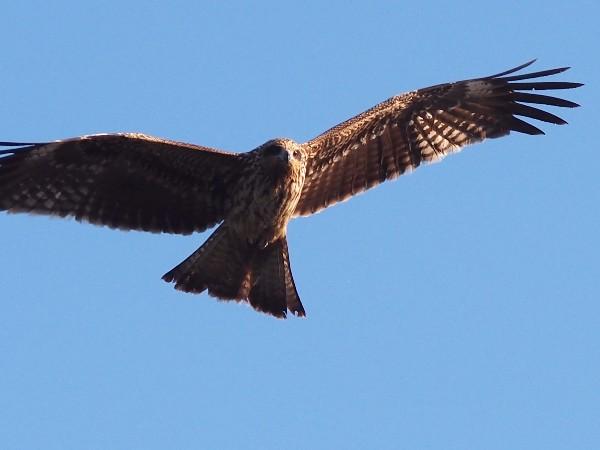 E-PM2で野鳥を撮影 とんび