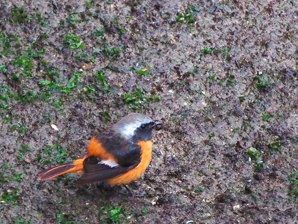 野鳥 小鳥 ジョウビタキ