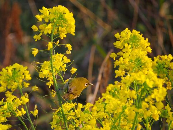 西条市中山川土手 菜の花とメジロ