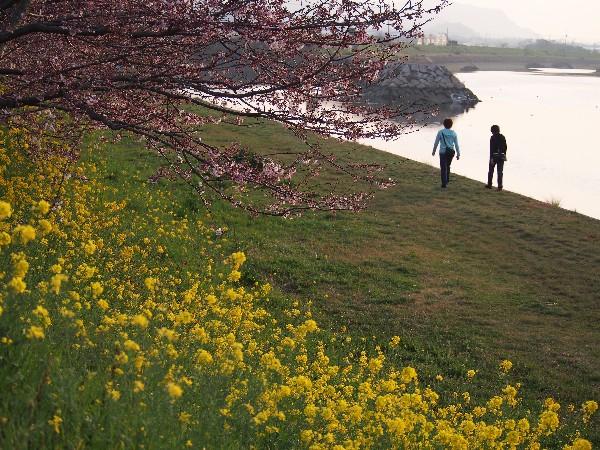 西条市氷見 中山川沿いの桜