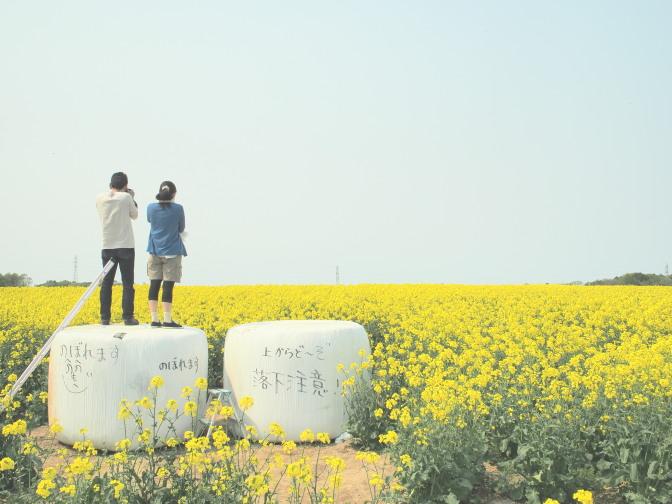 安平町の菜の花畑