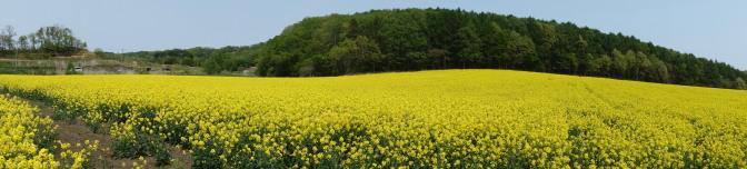 岩本農園の菜の花畑