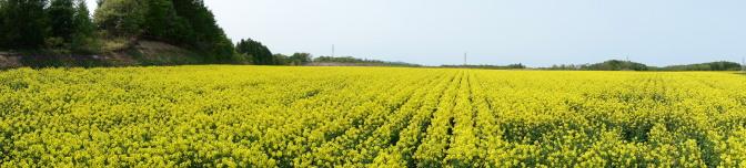 安平町の菜の花畑(パノラマ)