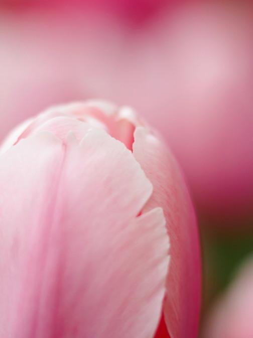 限りなく開花に近い蕾