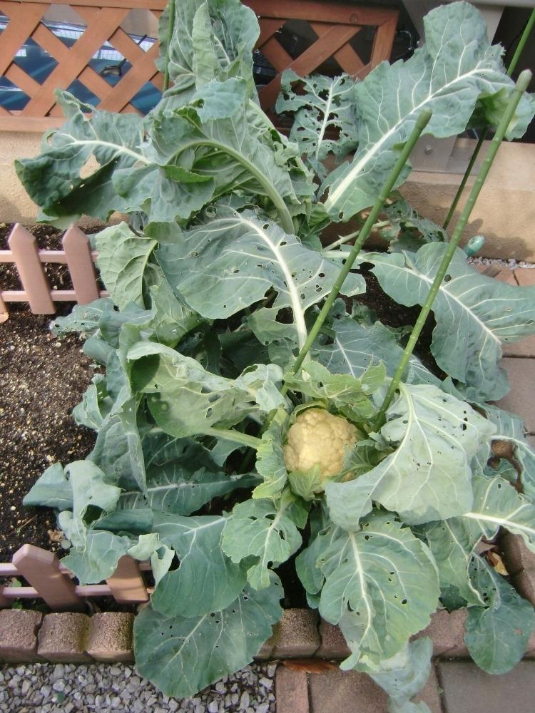 150104cauliflower2
