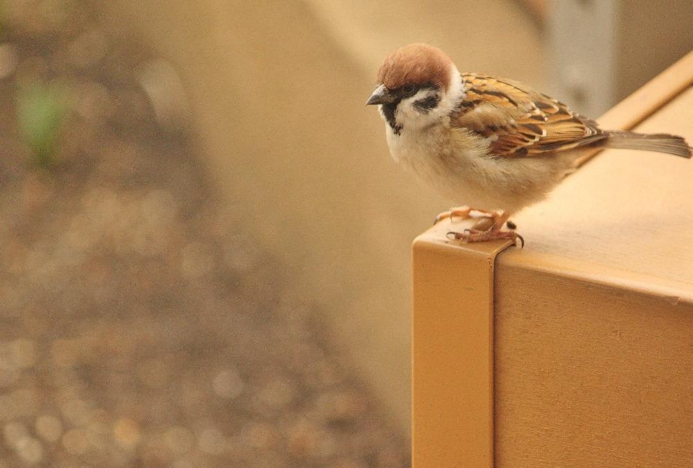 150303sparrow