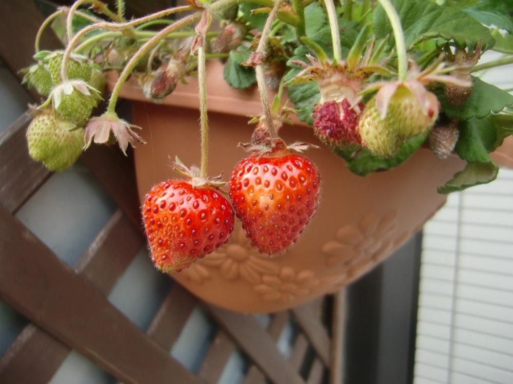 150514strawberry