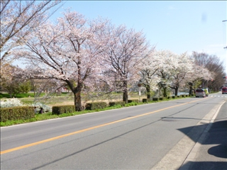 さくら 事務所前(南)2015-04-02 (2)ブログ