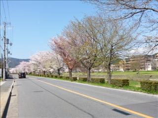 さくら 事務所前(北)2015-04-02 (1)ブログ