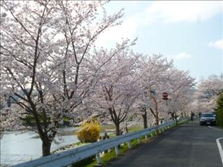 さくら 2015-04-02 (3)ブログ