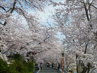さくら 2015-04-02 (5)ブログ