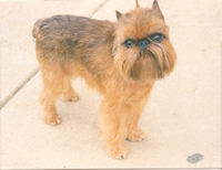 200px-Brussels_Griffon_Rembrant.png