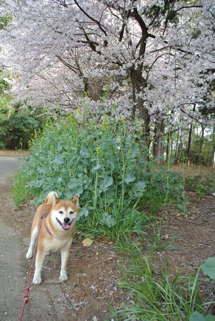 DSC_2595サロと桜2015