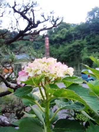 紫陽花4(2015-05-31)