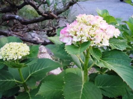 紫陽花5(2015-05-31)