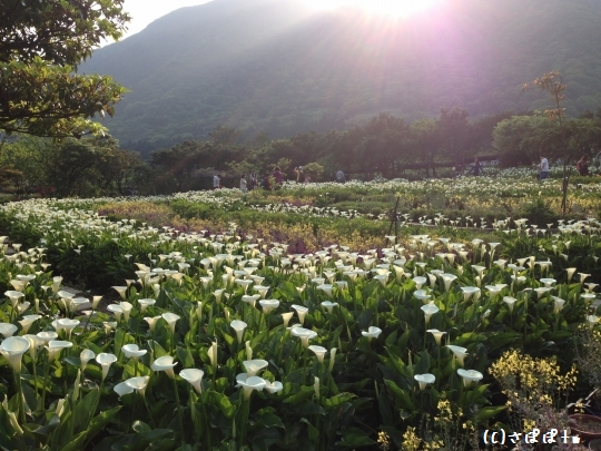 陽明山竹子湖海芋