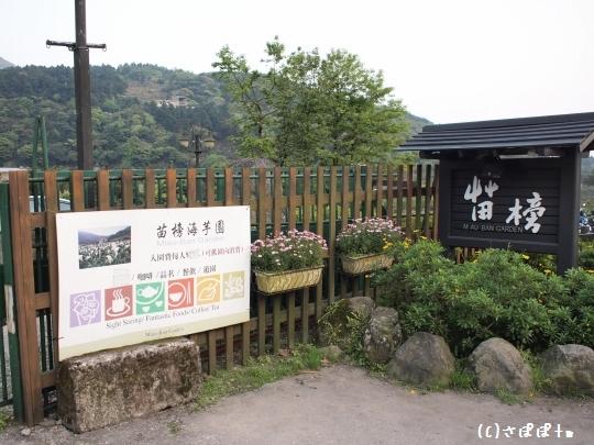 陽明山竹子湖海芋4