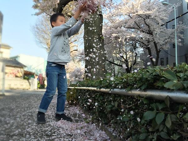20150421桜4