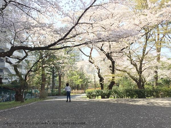 20150421桜3