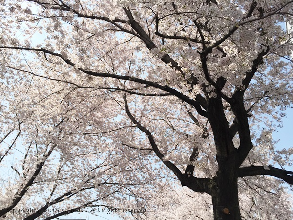 20150421桜2