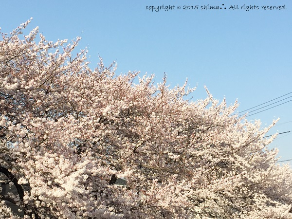 20150421桜1