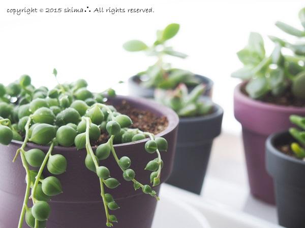 20150520多肉植物3