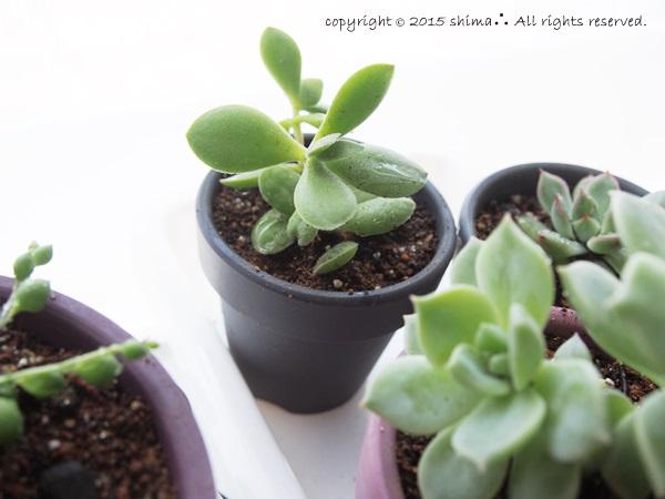 20150520多肉植物8