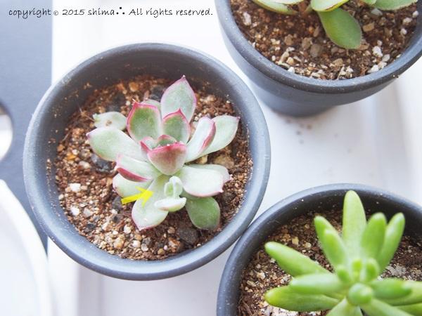 20150520多肉植物12