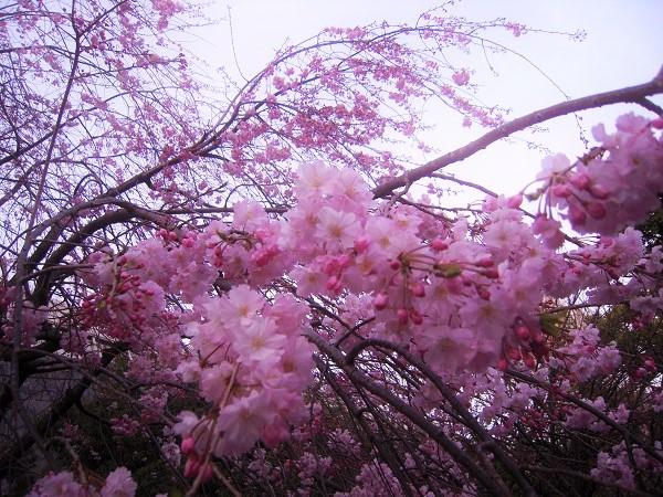 130321椿 桜9