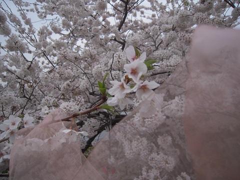 130324椿 桜8