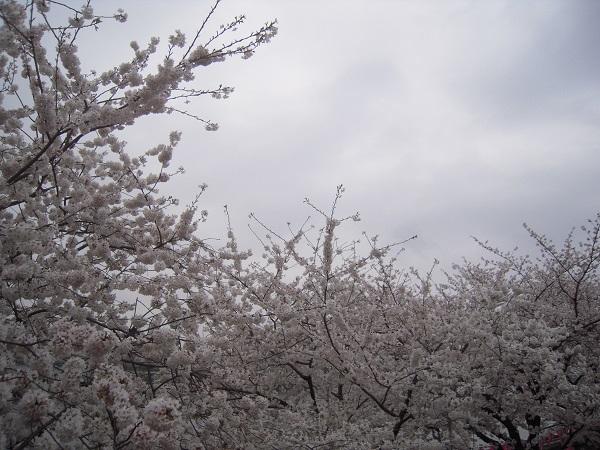 130324椿 桜9