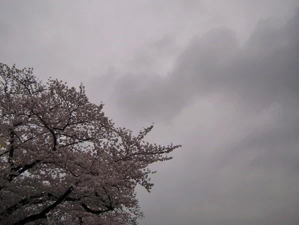 130324椿 桜11 (2)