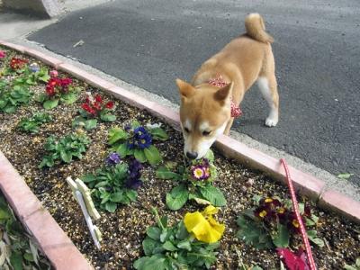花を匂うハナ