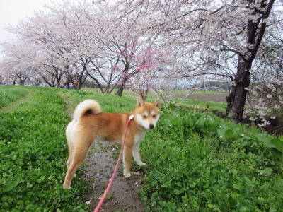 桜並木ハナ