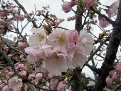 蓮如桜花びら