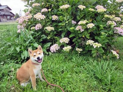 紫陽花ハナ