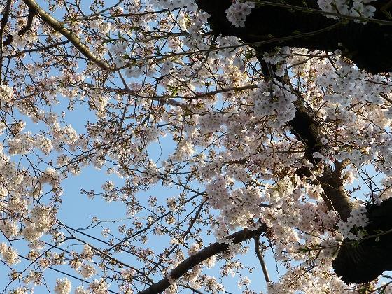 ソメイヨシノ2015年3月30日_11