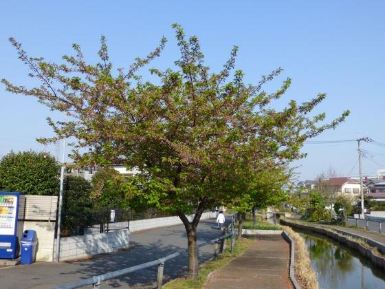 桜_江川せせらぎ遊歩道_08