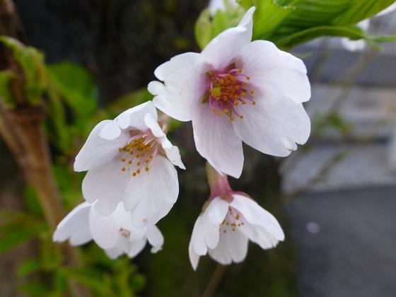 SAKURA横浜12