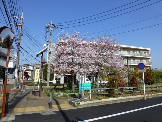 SAKURA2015江川せせらぎ遊歩道03