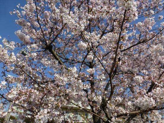 SAKURA2015江川せせらぎ遊歩道04